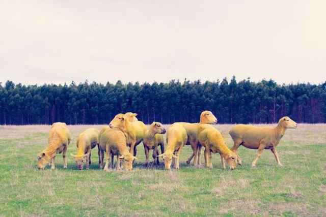 Gray Malin dream Multicolored sheeps 13